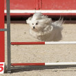 Maltese dog  in agility — Stock Photo