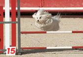 Psów w agility — Zdjęcie stockowe
