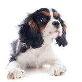 Cavalier cucciolo re charles — Foto Stock