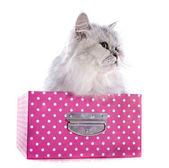 Persian cat in box — Stock Photo