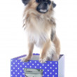Puppy chihuahua in box — Stock Photo #29753075
