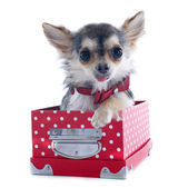 Puppy chihuahua in box — Stock Photo