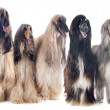 Afghan dogs — Stock Photo