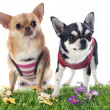 Dressed chihuahuas — Stock Photo