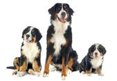 Bernese moutain dogs — Stock Photo