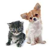Puppy chihuahua and kitten — Stock Photo