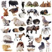 Animales de granja — Foto de Stock
