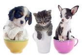 Kitten and puppies in teacup — Stock Photo