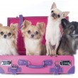 Chihuahuas in suitcase — Stock Photo