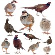 Game birds — Stock Photo
