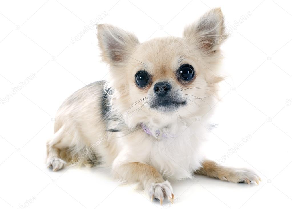 可爱的纯种小狗吉娃娃在白色背景前的肖像 — 图库照片#32107331