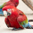Scarlet Macaw Parrot — Stock Photo