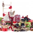 Christmas chihuahuas — Stock Photo #33315503