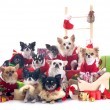 Stock Photo: Christmas chihuahuas