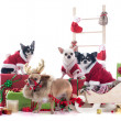 Christmas chihuahuas — Stock Photo