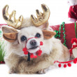 Reindeer chihuahua — Stock Photo