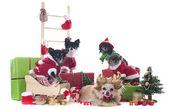 Christmas chihuahuas — Stock Photo