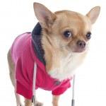 Dressed chihuahua — Stock Photo #34003581