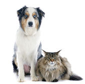 Australian shepherd and maine coon — Stock Photo