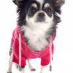 Dressed chihuahua — Stock Photo #34327591