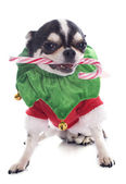 Puppy chihuahua and candy — ストック写真