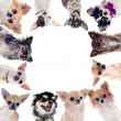 Group of chihuahuas — Stock Photo