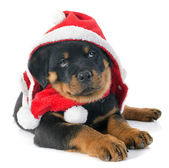 Christmas rottweiler — Stock Photo