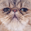 Exotic shorthair — Stock Photo