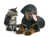Puppy rottweiler and kitten — Photo