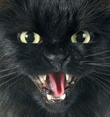 Furious cat — Stock Photo