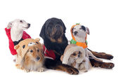 Dressed dogs — Stock Photo