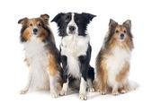 Three dogs — Stock Photo
