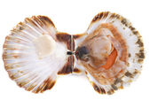 Great scallop — Stock Photo