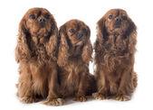 Three cavalier king charles — Foto de Stock