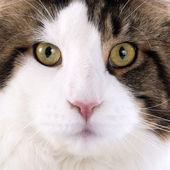 メインクーン猫ネコ — ストック写真