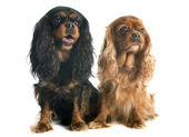 Two cavalier king charles — Stock Photo