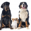 Three dogs — Stock Photo #39822059