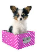 Papillon puppy in a box — Stock Photo