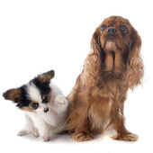 Papillon puppy and cavalier king charles — Stok fotoğraf