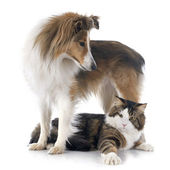 Shetland dog ans maine coon cat — Stock Photo