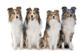 Shetland dogs — Stock Photo