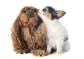 Papillon puppy and cavalier king charles — Stock Photo