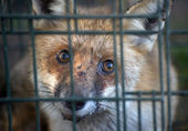 Red fox in cage — Stock Photo