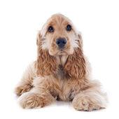 Puppy cocker spaniel — Stock Photo
