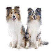 Shetland dogs — Stock Photo