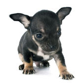 Puppies chihuahua — Stock Photo