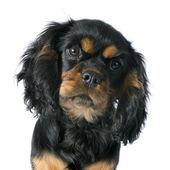Cavalier cachorros rey charles — Foto de Stock