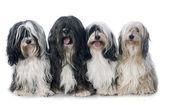 Four Tibetan terrier — Zdjęcie stockowe