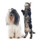Tibetan terrier and cat — Zdjęcie stockowe