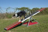Training of agility — Stock Photo